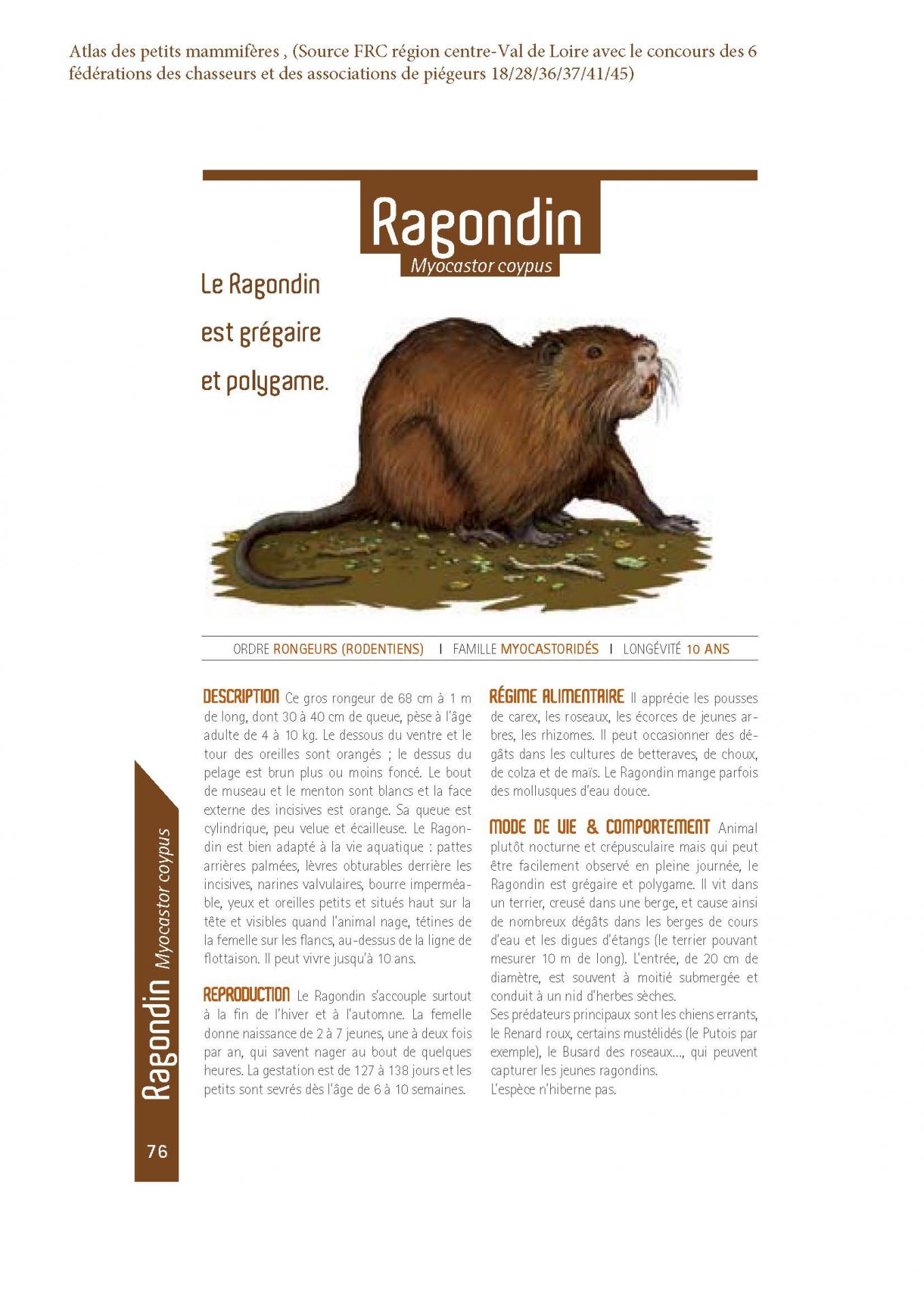 Ragondin 1