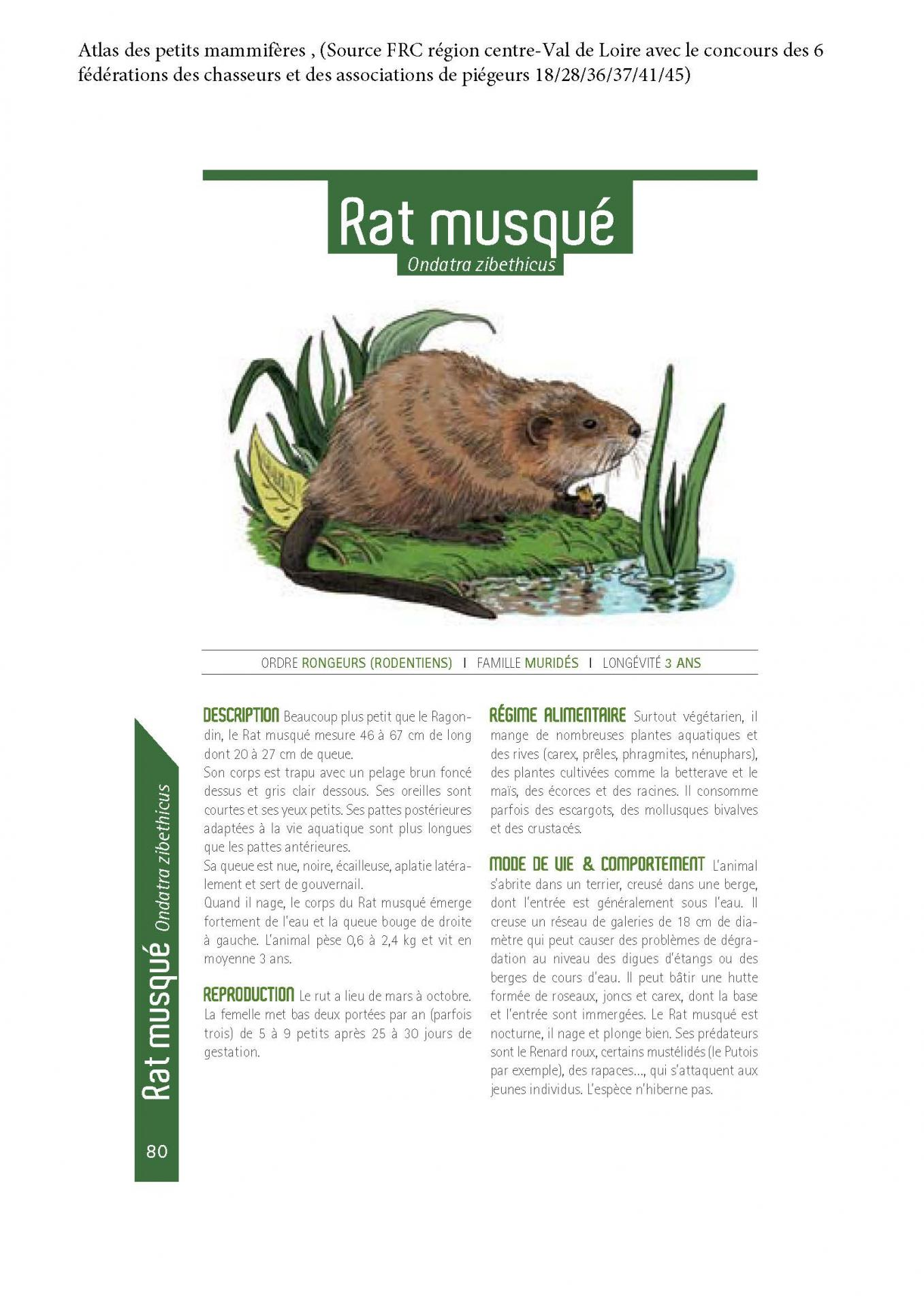 Ratmusque 1